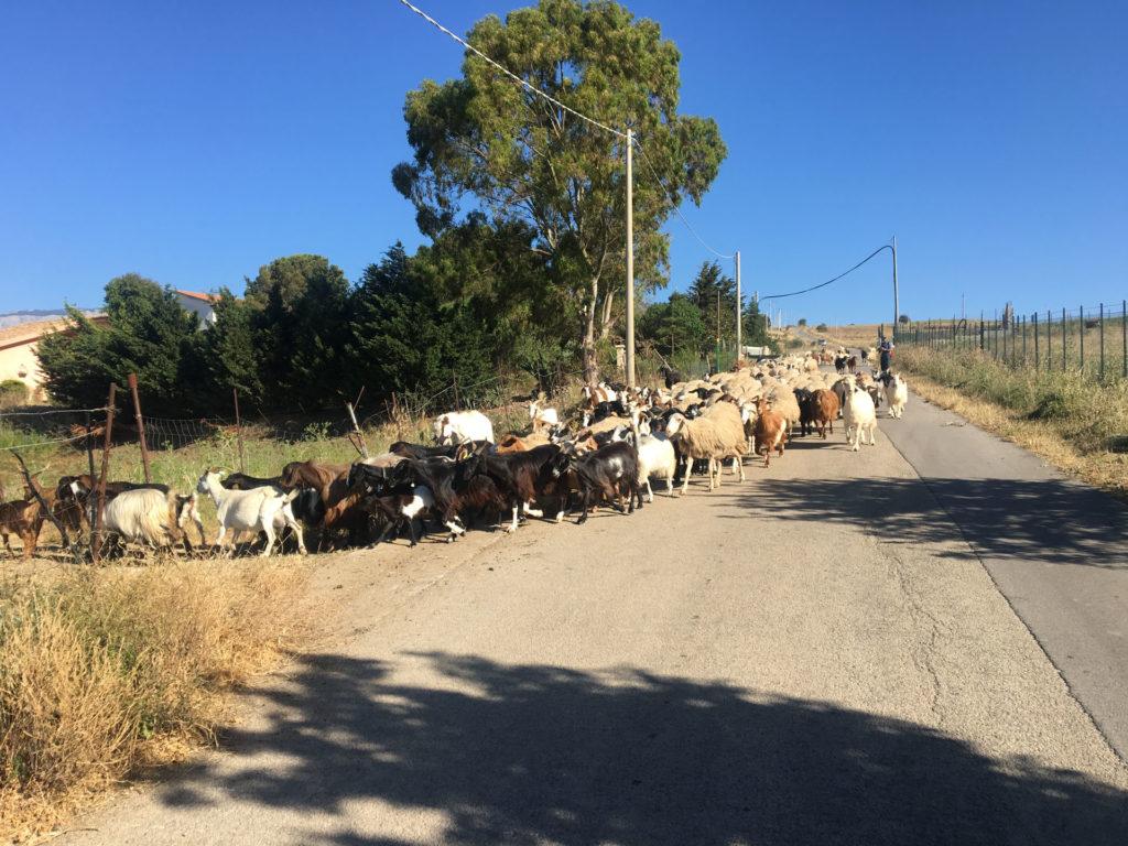 Targa Florio Schapen geiten